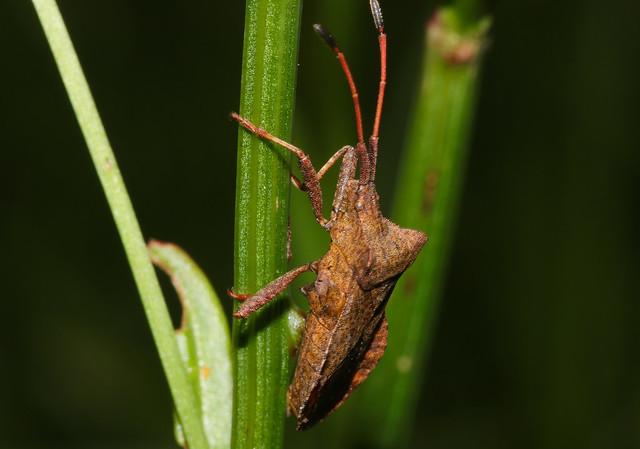 Dock Bug (Coreus marginatus)