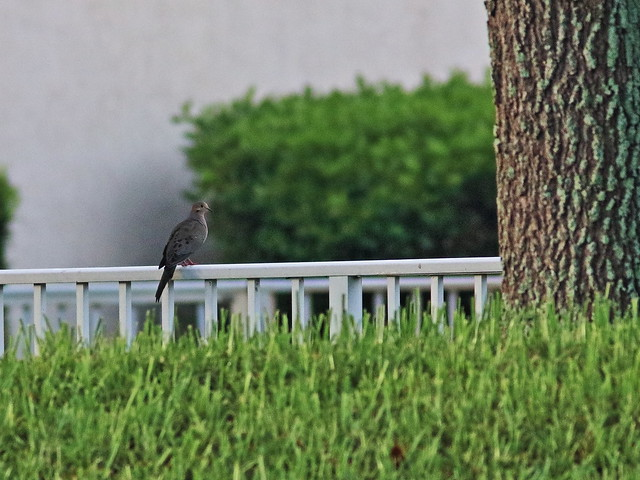 Mourning Dove on fence 20200705
