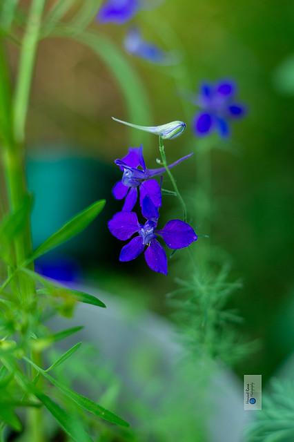 Purple larkspur  (consolida ) 3