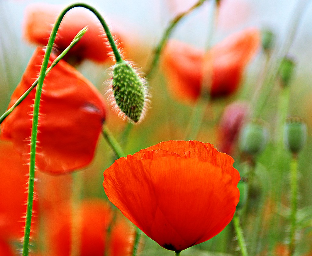 Last poppies