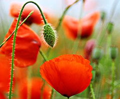 Last poppies----- Explore 5/06/2020