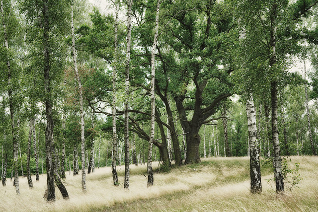 Birches with Oak