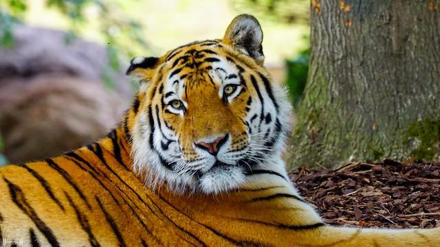 #Tiger - 8612