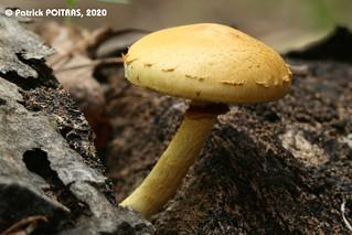 Pholiota subsulphurea / Pholiote soufrée