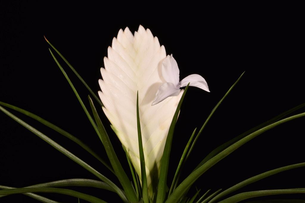 2 juillet 2020 - Tillandsia cyanea 'Biancini'