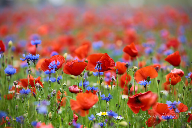 Poppies forever....