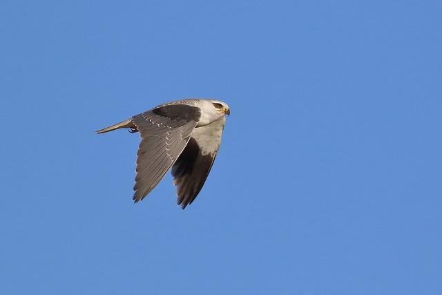 Peneireiro Cinzento - Elanus caeruleus - Black winged kite