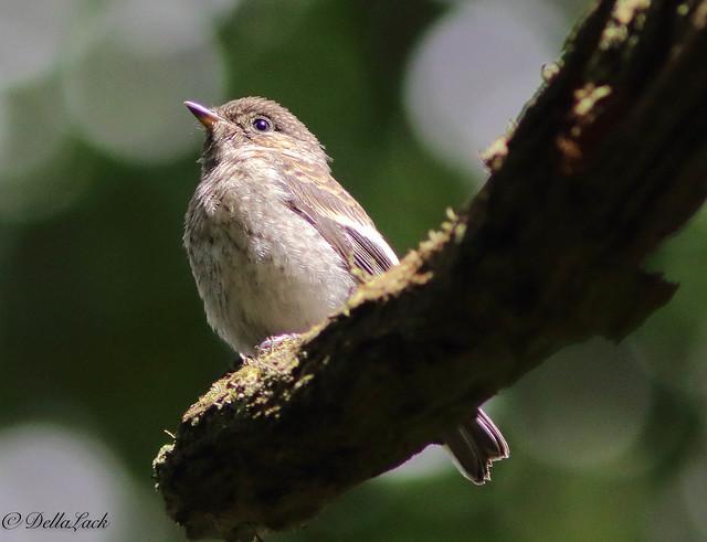 Pied Flycatcher Juvenile