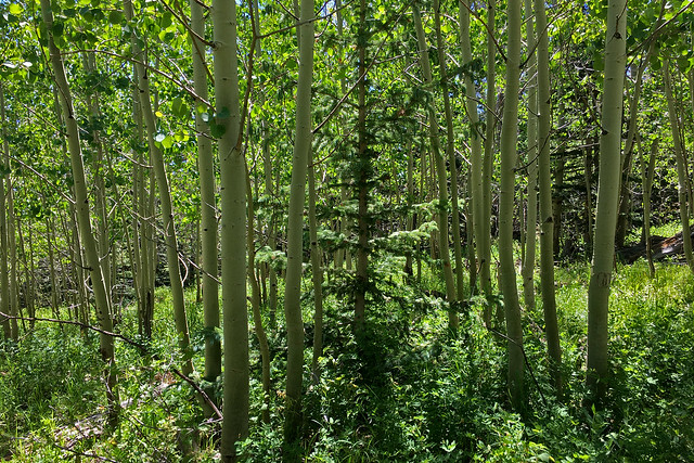 Aspen grove.  Sandia Mountains, New  Mexico, USA.
