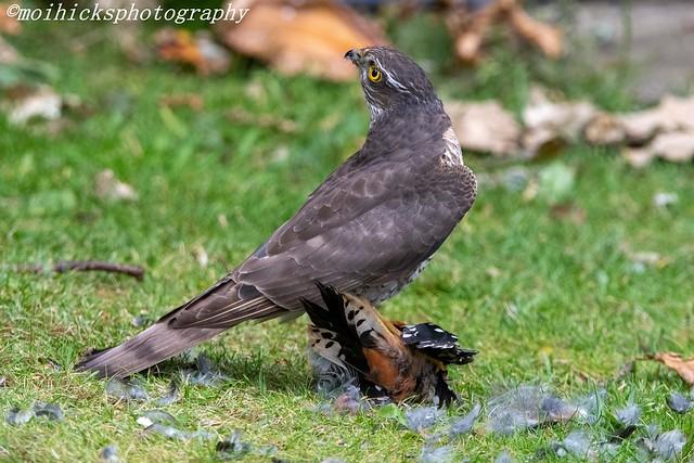 Sparrowhawk. female