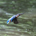 Kingfisher -202007022629.jpg