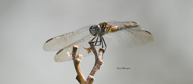 Dragon Fly_5075e