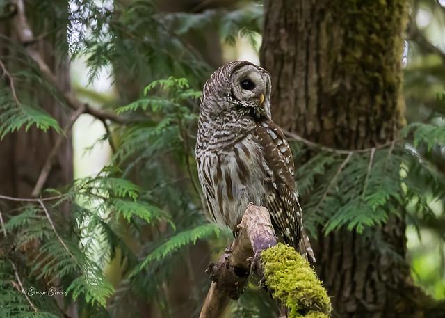 Barred Owl - Bowen Park