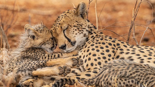 Cheetah love - mother and cub