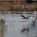 Wood Duck-2.jpg