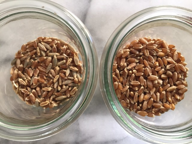 Rye and Hard Red Winter Wheat