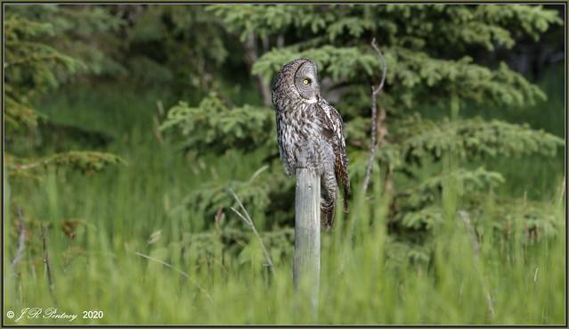 Owl among the Greenery