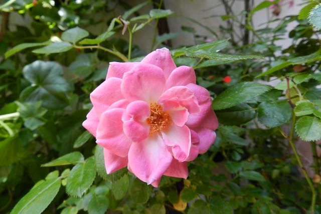 flor del patio en barrio del Alcázar Viejo Cordoba 04