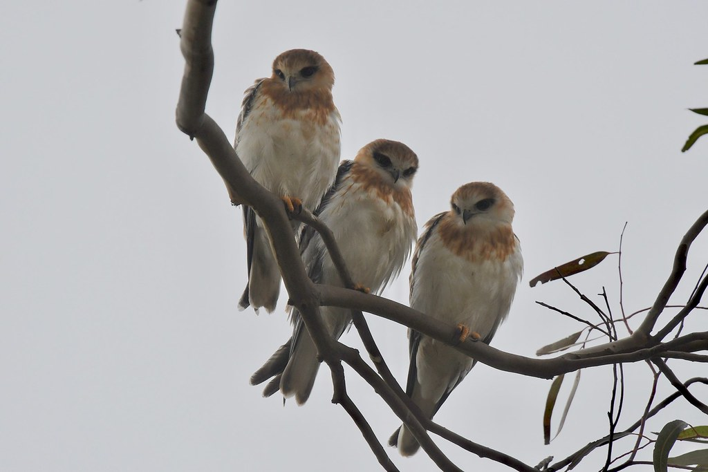 Black-shouldered KItes Juv. ( three young all growing up fast )