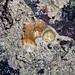Ball-tip corallimorph (Corynactis sp.)