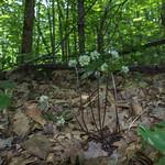 Allium tricoccum Flowers