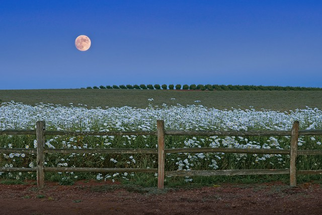Daisies Fence Rising Moon 285 A