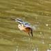 Kingfisher -202007022729.jpg