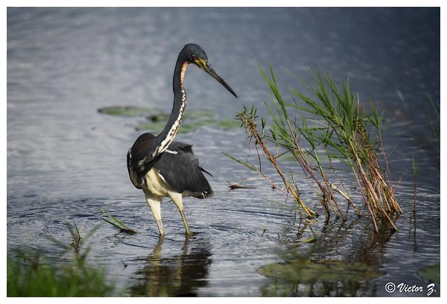 Tricolored Heron, Lake Mary Florida -380