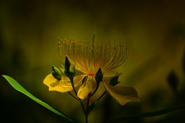ビョウヤナギ-4 Hypericum Chinese var. salicifolia 春過ぎて 夏来たるらし💙 Spring is over, Summer is coming-48