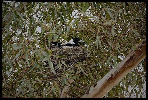 Australian Magpie- Now where to put the wide-screen TV | by birdsaspoetry