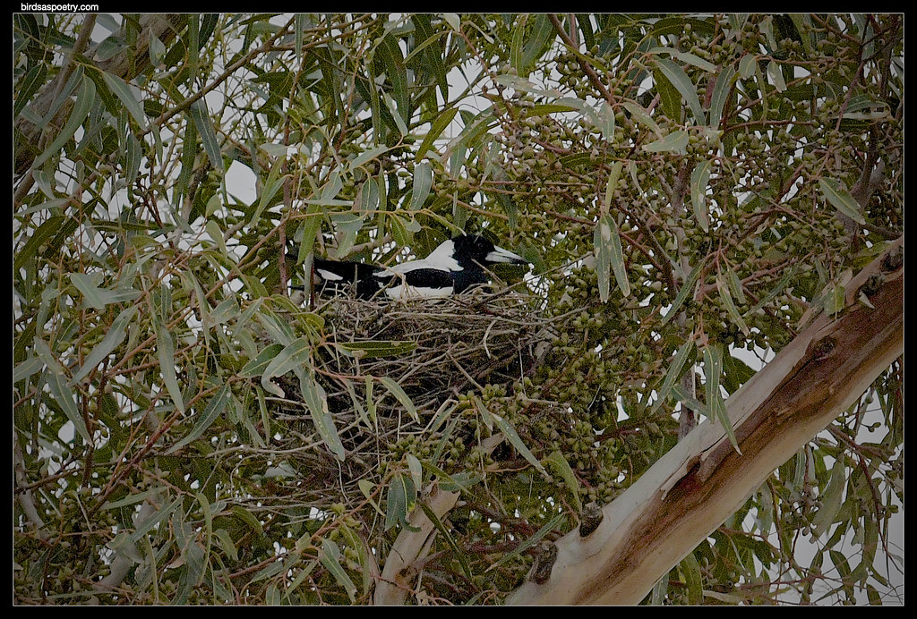 Australian Magpie- Now where to put the wide-screen TV