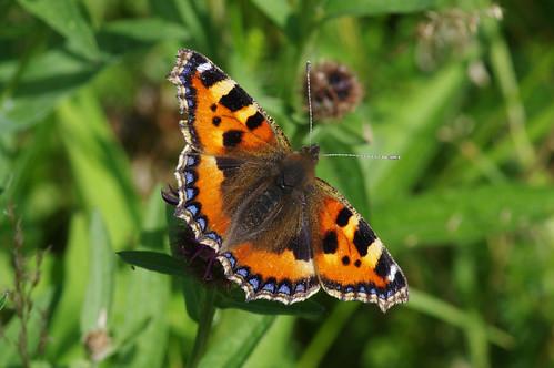aglaisurticae cambridgeshire woodwaltonmarsh butterfly nature smalltortoiseshell wild wildlife