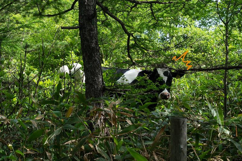 湯ノ丸山に放牧される牛