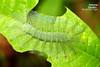 Larva of The Common Archduke - ผีเสื้ออ๊าชดุ๊คธรรมดา