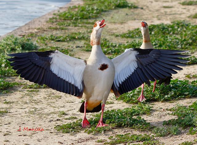 La danza del ganso del Nilo IMG_0535