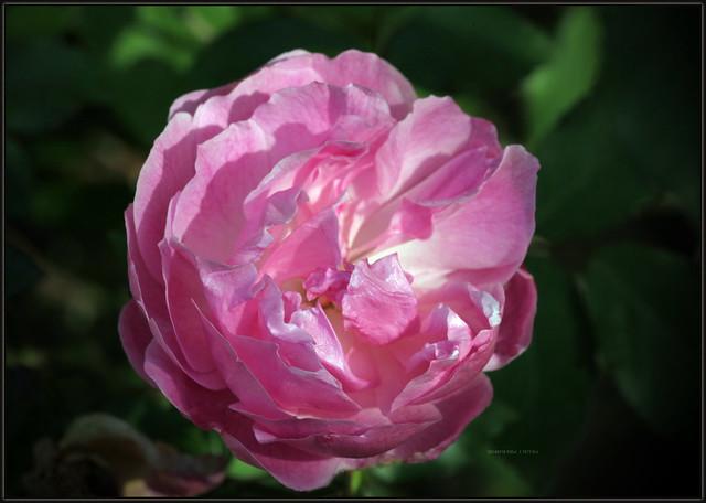 Rosa, Garden roses, Ruža vrtna, 7873 Bot, 18.III.2014., Balkon, Ri