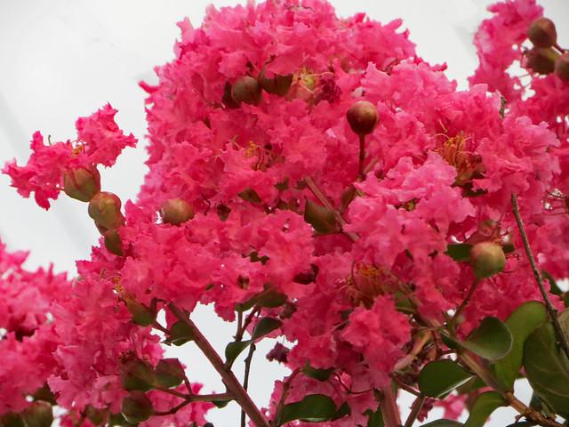 Pink Crape Myrtle Blossoms.