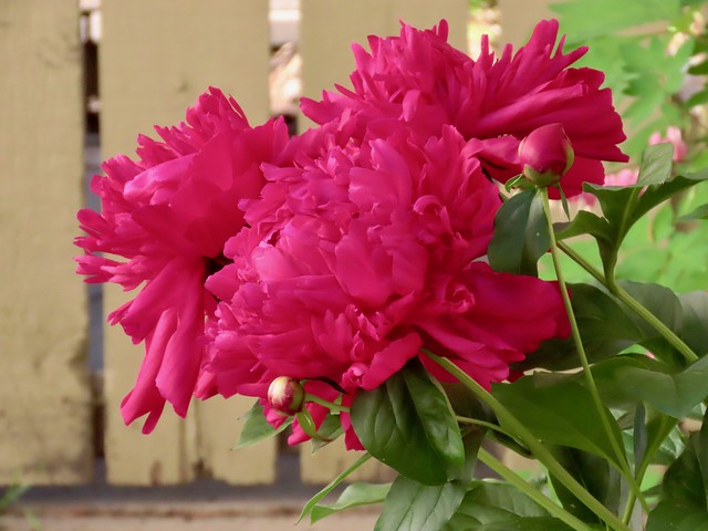 Peonies from the Magnificent Benlar Gardens 2