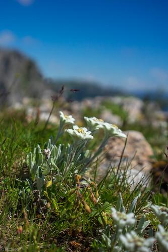 austria blumen pflanzen location flowers bürgeralm steiermark