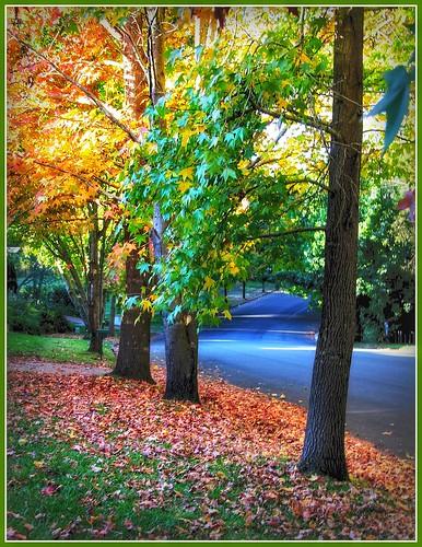 liquidambar trees canopy leaves autumntrees liquidambartrees autumn autumnleaves