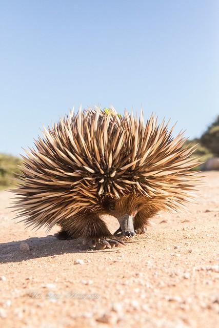 Echidna. Photo taken on the west coast of eyre peninsula South Australia