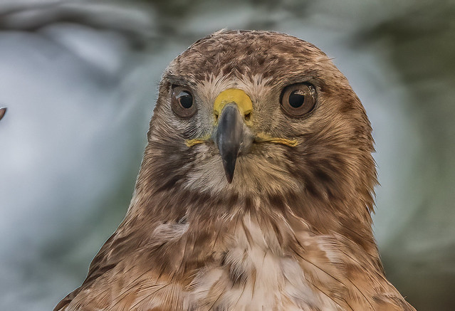 Redtail Hawk closeup