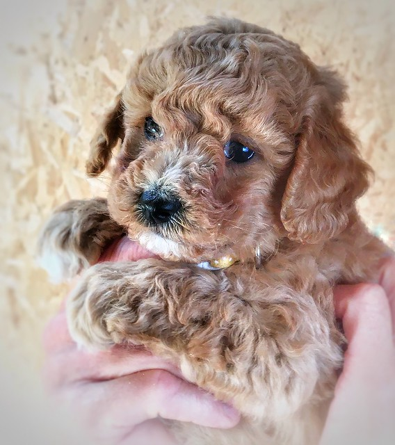 Little Dougal