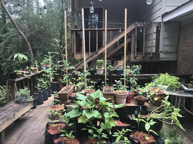 My Lil' Container Garden - Summer Garden 2020 2020-06-07 11.51.19