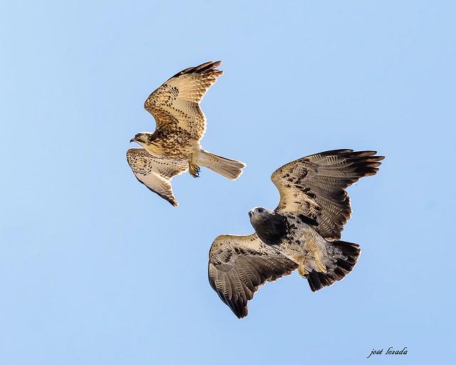 Águila mora persiguiendo un juvenil de otra  especie.