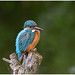 Common Kingfisher (male) - IJsvogel (man) (Alcedo atthis) ...