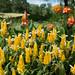 Golden Shirmp Plants