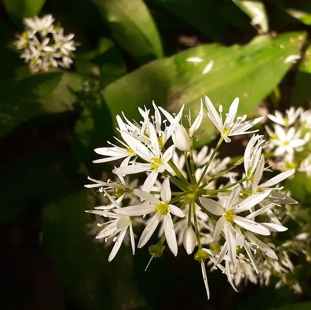 Aglio orsino (Allium ursinum). Sentiero da Cascina Bert al Colle della Maddalena (Parco della Maddalena). Torino, Italia