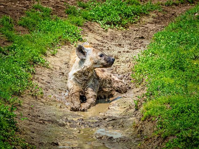 Hyena taking a mud bath