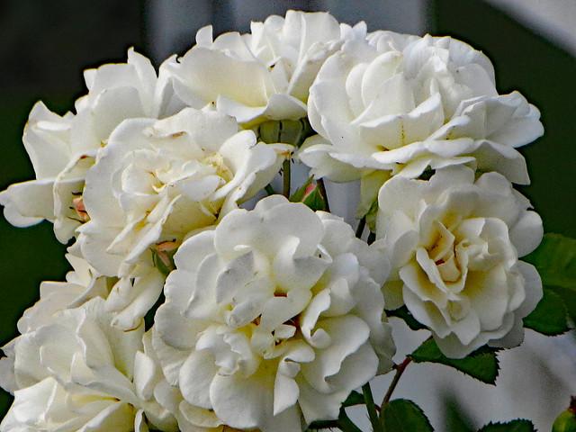 Cluster Of White Roses.